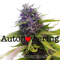 Autoflower – Distractable Me
